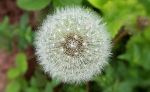 A dandelion that has gone to see can spread particles that can be inhaled.