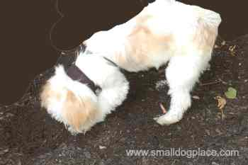 Shih Tzu Dog Digging Holes in the Garden