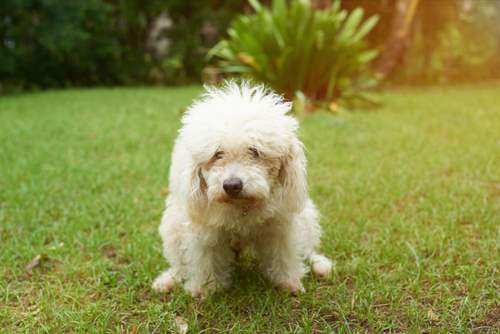 Puppy Constipation, causes, treatments and preventions