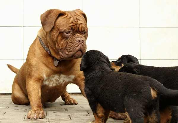 Dog Daycare:  A large dog is looking at 3 smaller dogs.