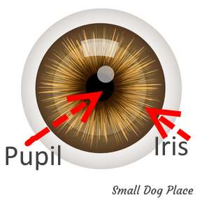 Eye showing the Pupil and Iris