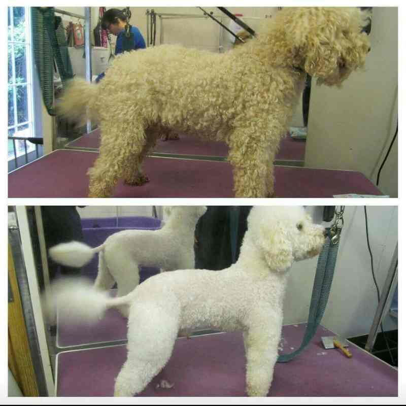 A dog at his dog groomer's salon