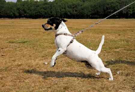 A dog is pulling on the leash as he is learning to walk