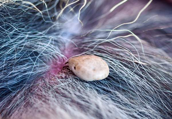 Dog Tick that has taken a blood meal and becomes engorged.