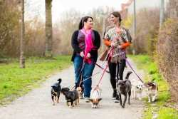 Two dog walkers are walking several dogs along a quiet path.  Link to the article.