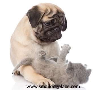 A pug dog is playing with a kitten