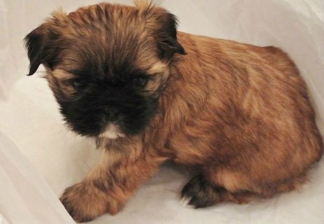 Small Dogs To Breed Good Small Dogs Breeds Small Dog