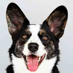 The Cardigan Welsh Corgi and his Bat Ears