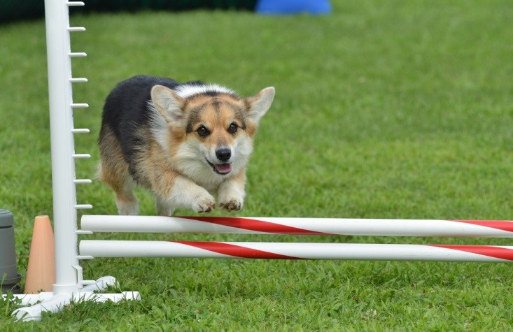 Agility training works well for energetic small dogs that need mental and physical stimulation.