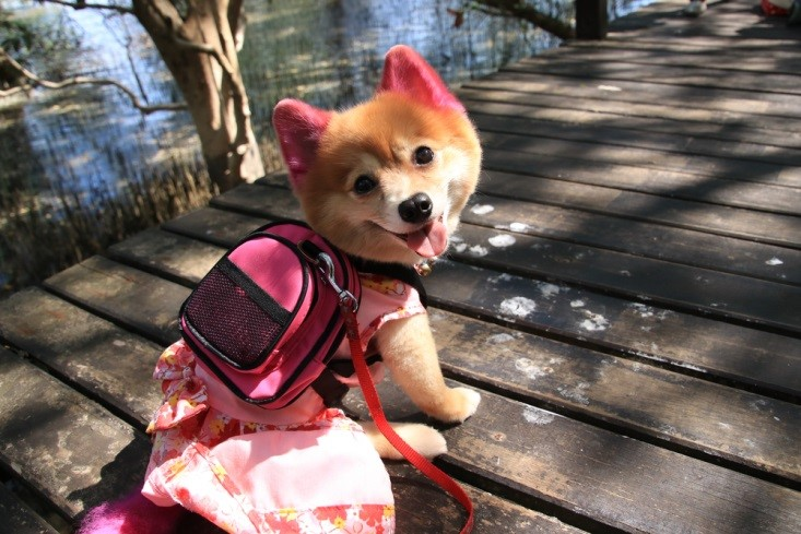 The distraction of a dog backpack will calm most energetic small dogs.