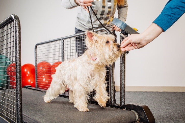 The challenge of walking on a treadmill is enough to calm even the most energetic small dogs.