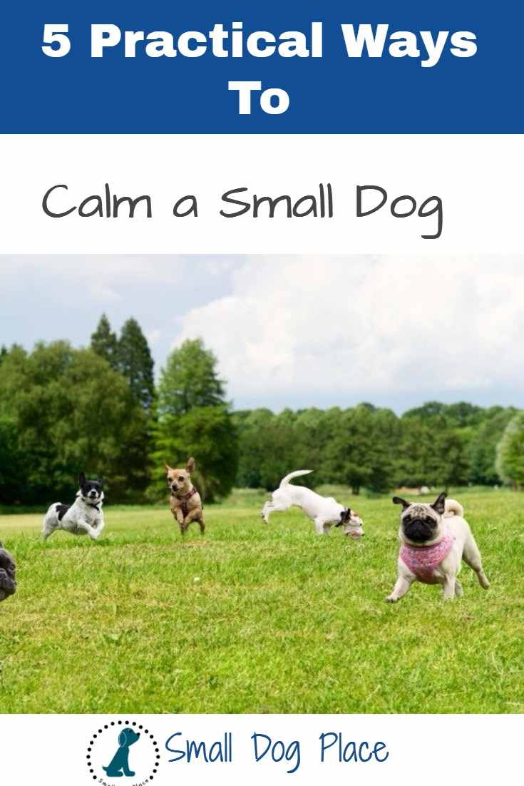 Energetic Small Dogs: 5 Practical Calming Tips You Can Use Now