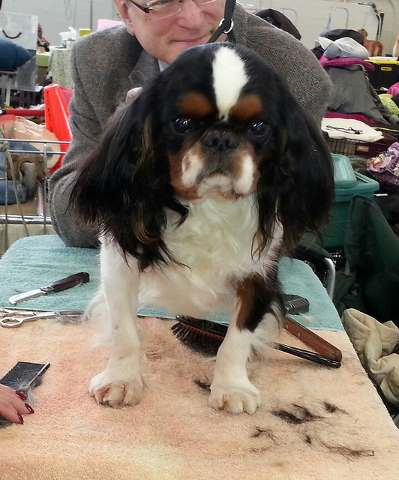 English Toy Spaniel Being Groomed