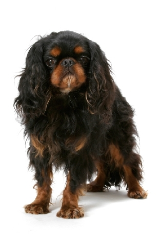 English Toy Spaniel Small Breed Dogs