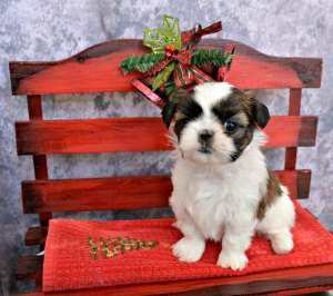 Christmas Puppies as Gifts