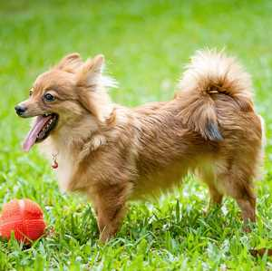 A German Spitz dog is standing in a field of grass ready to play with a ball.