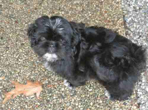 Little Black Shih Tzu puppy standing on the pavement.