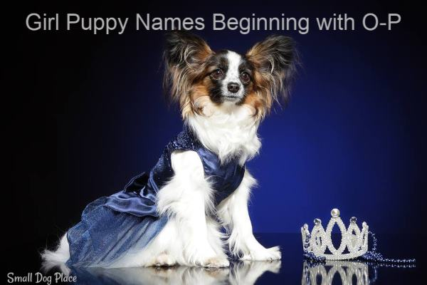 Girl Puppy Names Beginning with O-P:  A female dog dressed up to look like royalty.