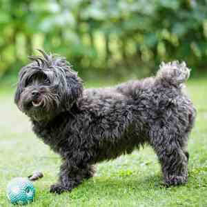 Black Havanese Dog Breed Link to Havanese Profile Page