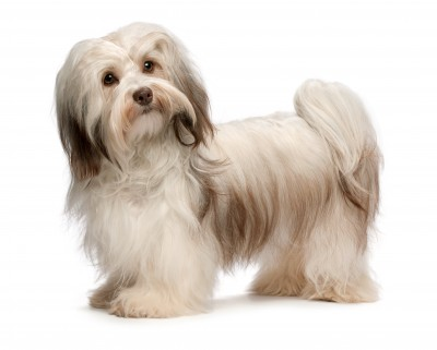 Popular Small Breed Dogs, the Havanese