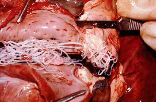 Heartworms found inside of a dog's heart