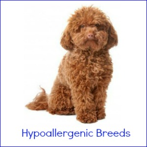 Pictured is a brown poodle which is a good example of a hypoallergenic dog breed