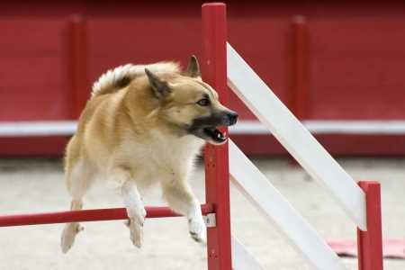 The Icelandic Sheepdog makes an excellent Agility Dog.