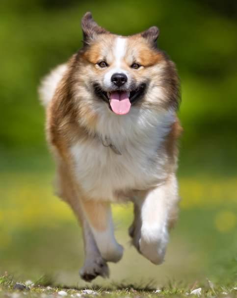The Icelandic Sheepdog