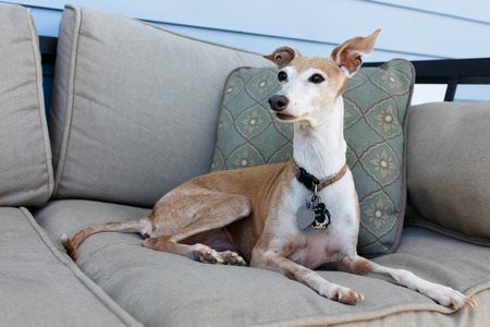 The Italian Greyhound Sitting on a Sofa