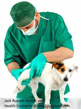Health Concerns of the Jack Russell Terrier