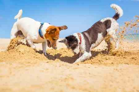 Two Jack Russell Terriers are Digging in the Sand
