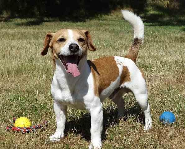 jack russell terriers dogs on steroids or perfect family pet