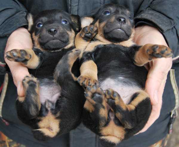 Deutscher Jagdterrier Puppies