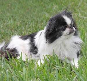 Japanese Chin:   Playful, Cheerful, Low exercise requirements;  Some are Reserved around strangers;