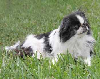 Japanese Chin Dog in the grass.