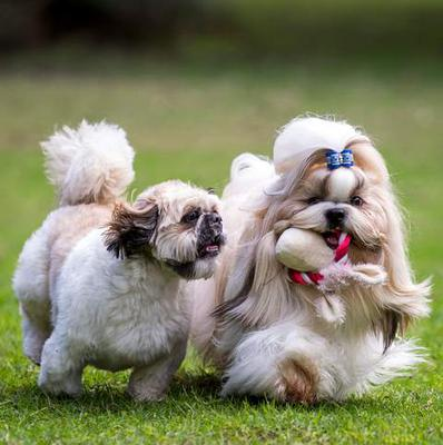Shown are two Shih Tzu Dogs, one in a puppy or kennel cut and the other if a Show Coat