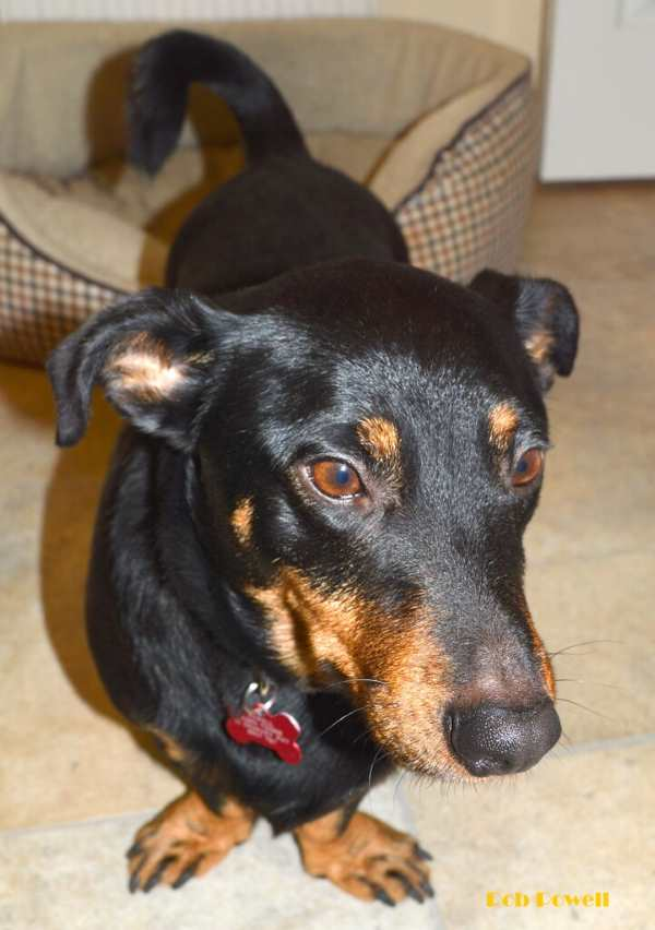 A young black and tan Lancashire Terrier is standing and facing the camera.
