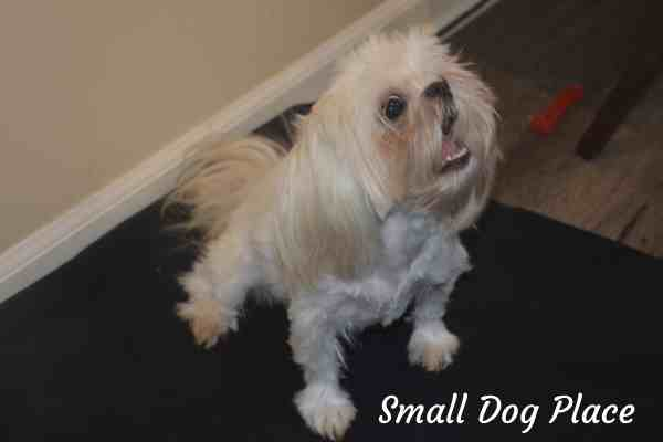 A small dog is anticipating a treat after performing a Leave it command