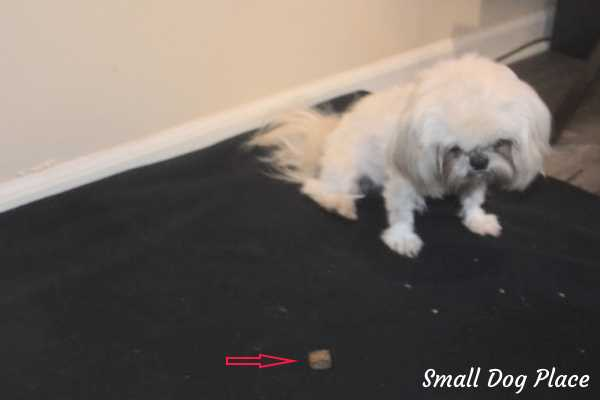 A small Shih Tzu Dog is learning to