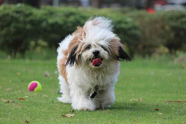 Lhasa Apso:  Fun, Curious, Devoted, Affectionate