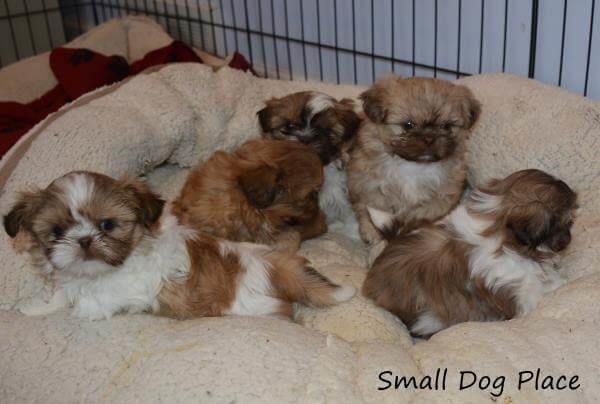 Litter of 5 six-week old Shih Tzu puppies