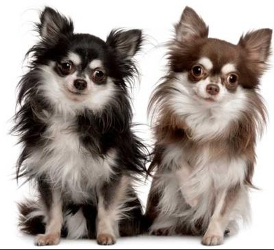 long haired chihuahua 21831114 - NO.1#LONG HAIRED CHIHUAHUA DOG BREED INFORMATION GUIDE