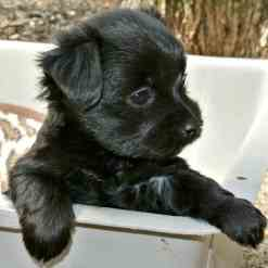 A Maltese and Shih Tzu Puppy is sitting in a plastic tub