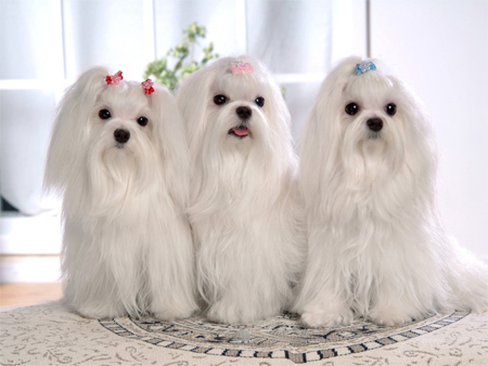 Three Maltese Dogs with Single Coats will need Winter coats for Dogs