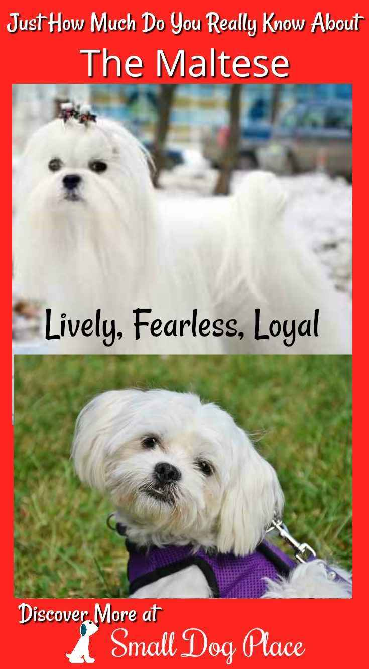 How much do you know about the Maltese Dog Breed?  Find out at Small Dog Place