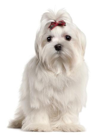 Maltese, similar small breed dog