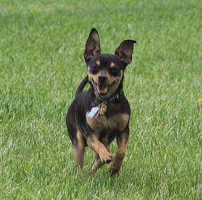 Toy Manchester Terrier Small Dog Place