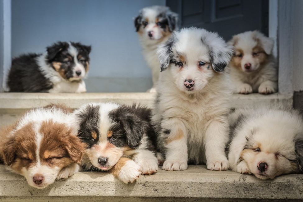 Miniature Border Collie Beauty And
