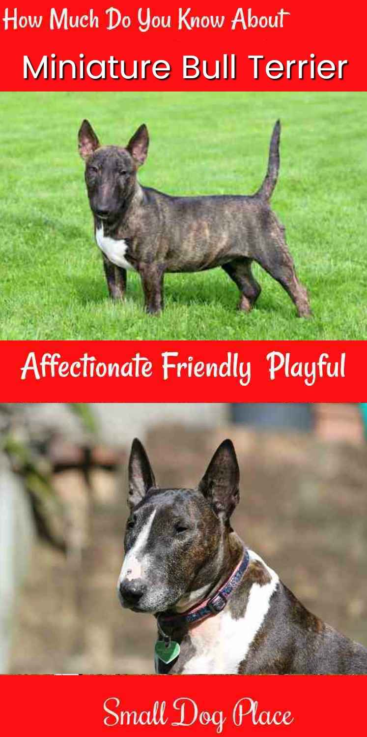 How Much do You Know about the Miniature Bull Terrier?
