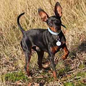 Miniature Pinscher standing in a field